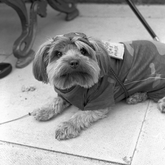 A dog with a camouflage coat at Crich Tramway 1940s weekend - Fine Art Photography